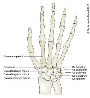 Håndrotsbeina
