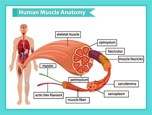 Muskulatur.jpg