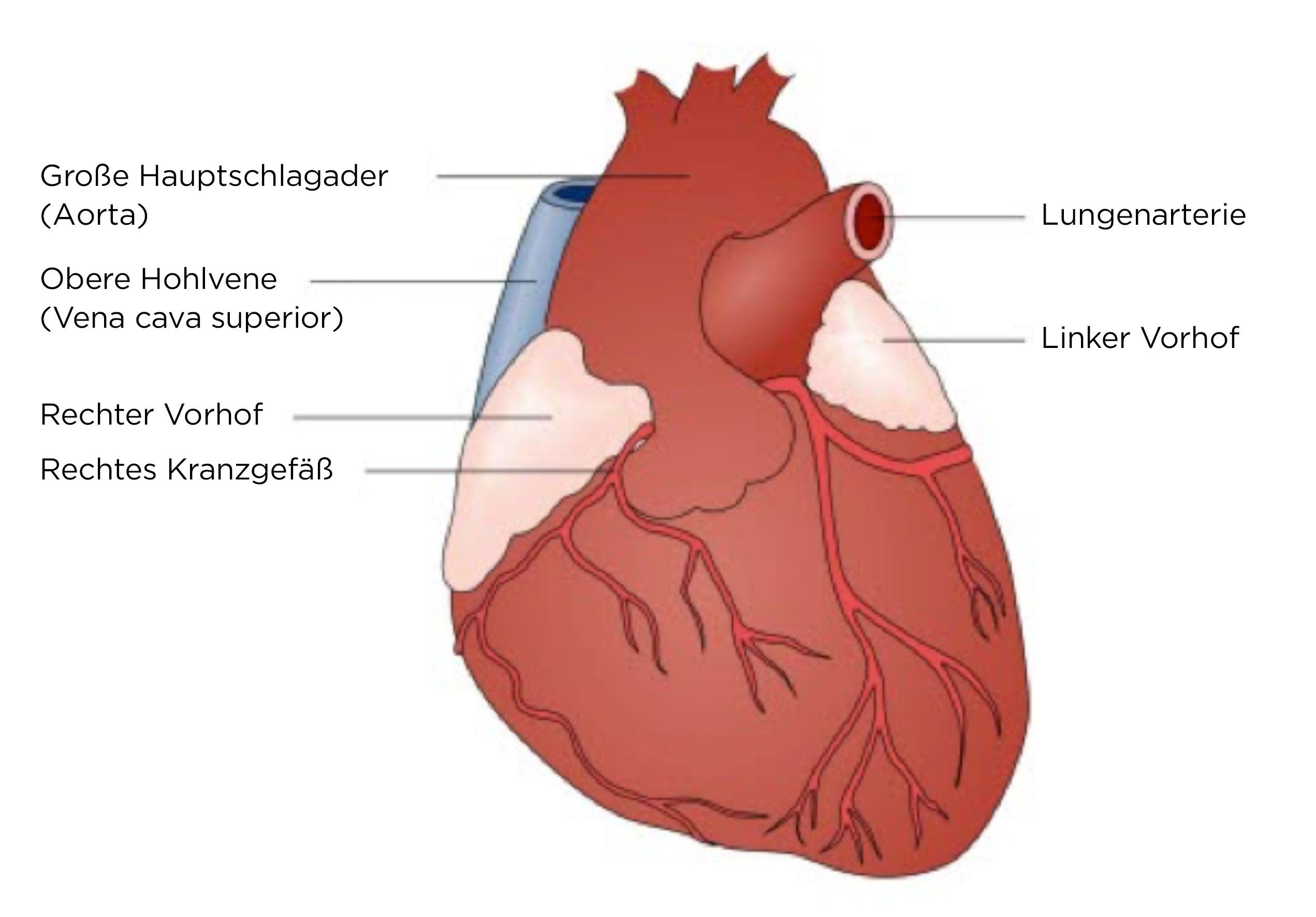 Herz, Ansicht von vorne