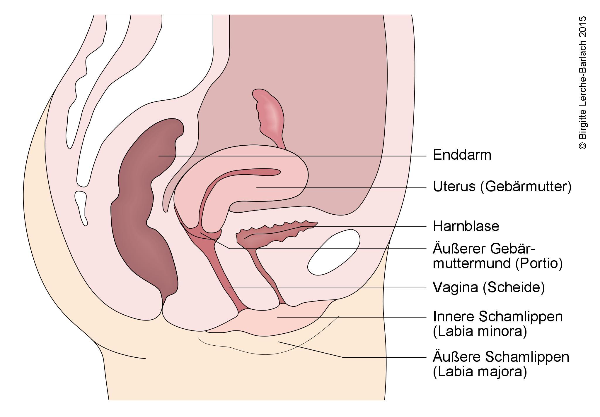 Ultraschall Der Weiblichen Geschlechtsorgane Deximed