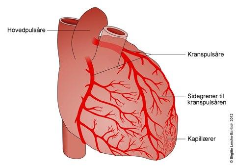 10126-2-hjertets-blodforsyning.jpg