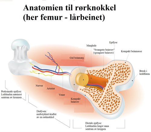 Lårbeinets anatomi.jpg