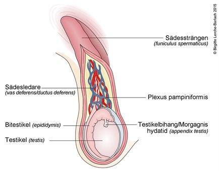 Pungens anatomi