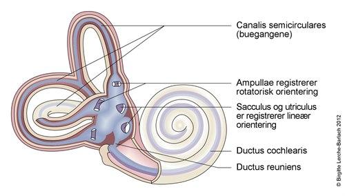 10401-2-699-cochlea-og-vestibulum.jpg