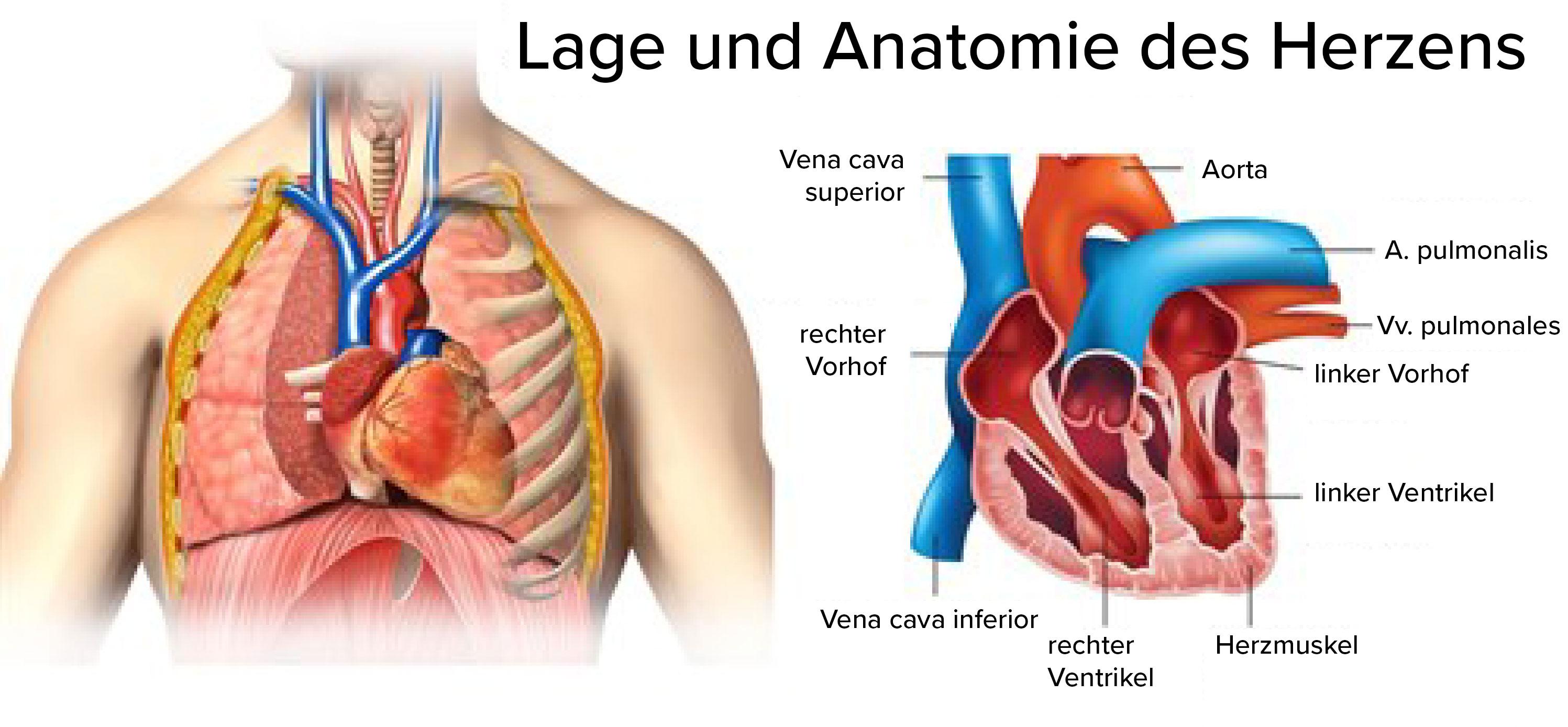 Herz, Lage und Anatomie.jpg