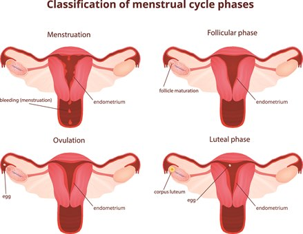 Menstruasjonssyklus 3.jpg