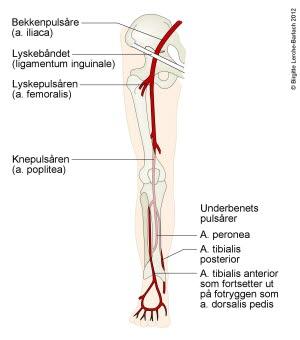 Arterier i benet