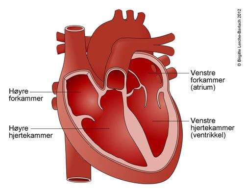 Hjertekamrene sett forfra