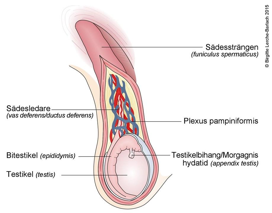 små testiklar fertilitet
