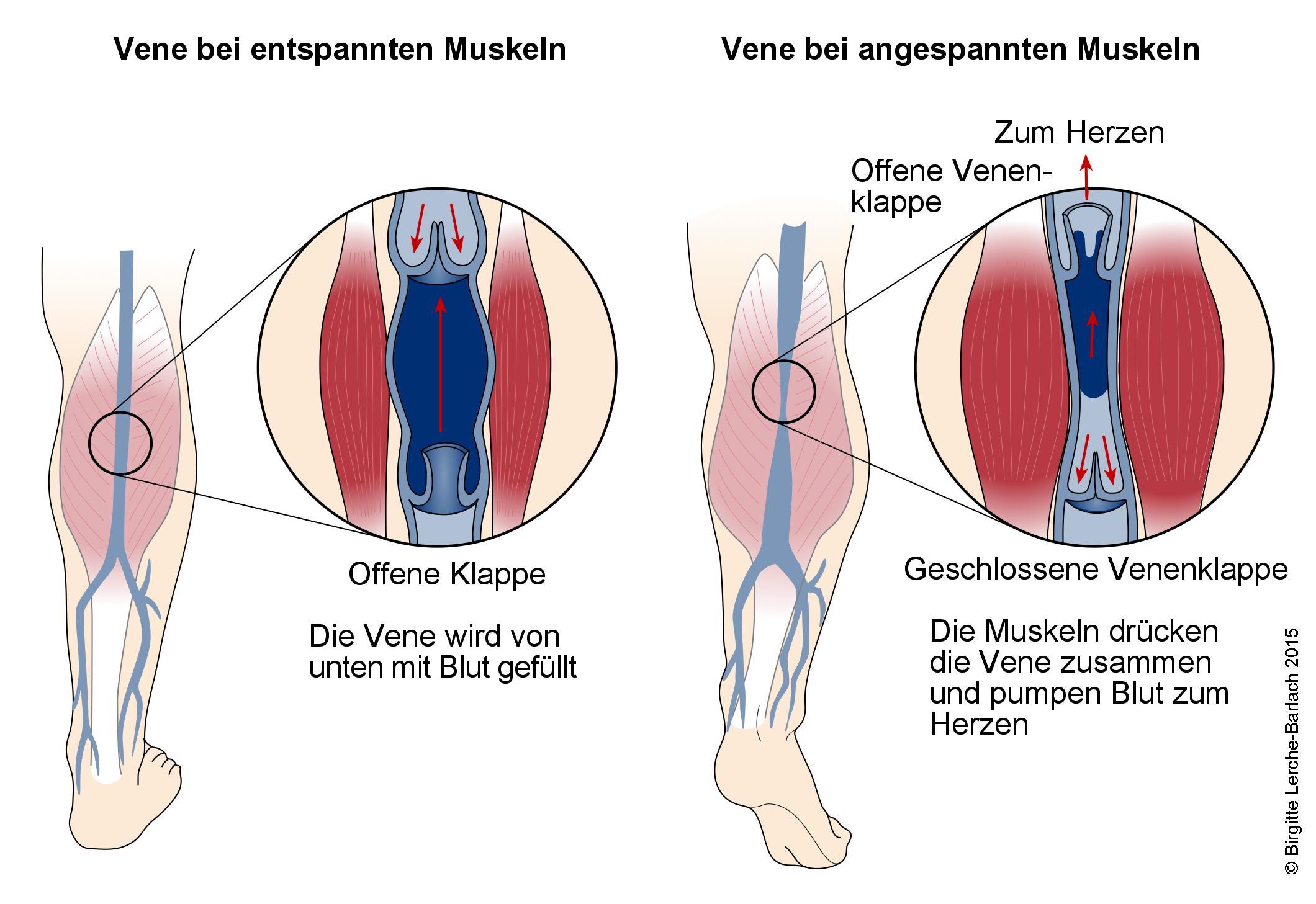 Venen und Muskelpumpe