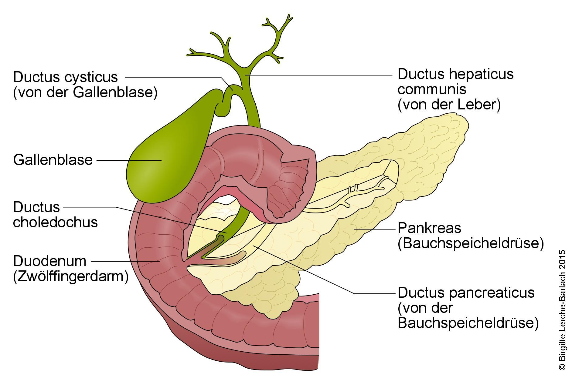 Ultraschall der Leber, Gallenwege und Bauchspeicheldrüse - Deximed