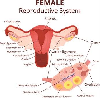 Menstruasjonssyklus 1.jpg