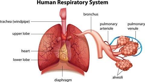 Respiratorisk system.jpg