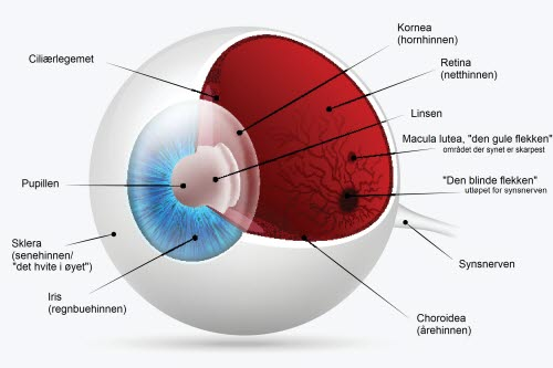 anatomi øyet.jpg