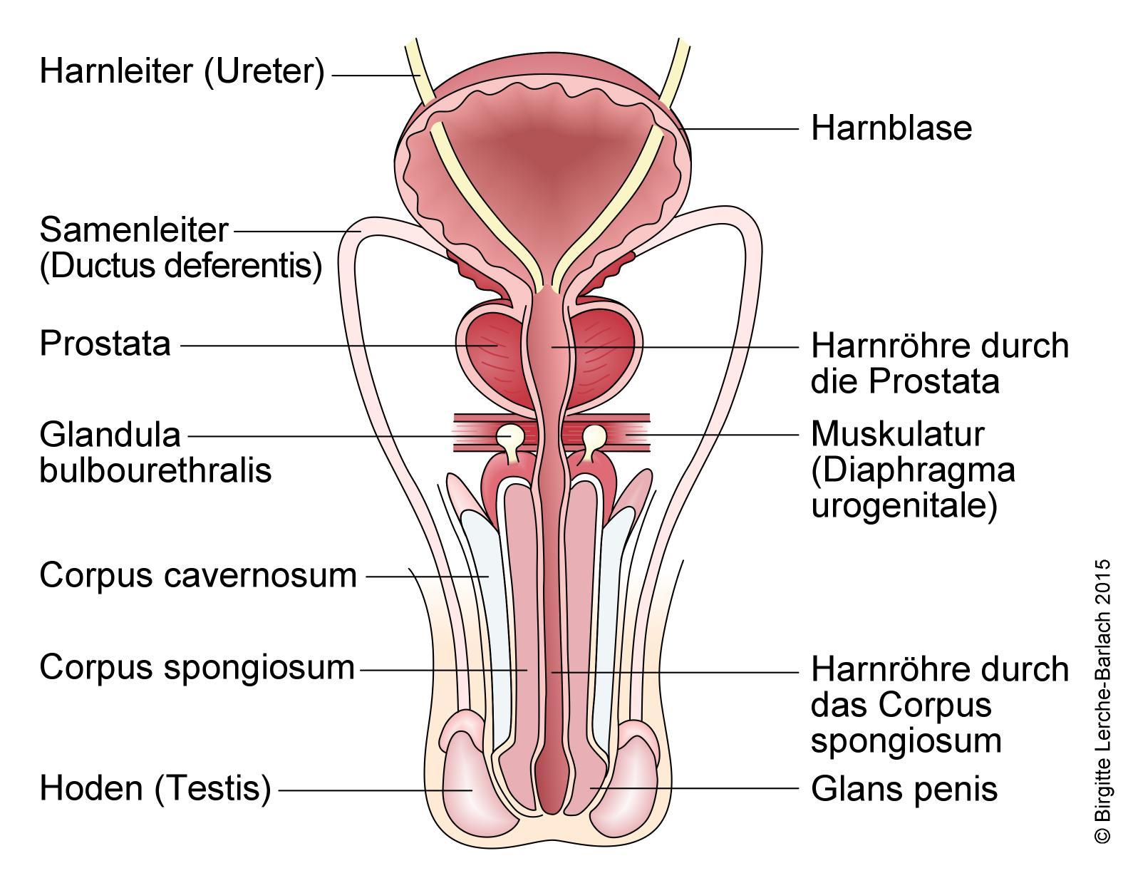 Beste Prostata Lage Zeitgenössisch - Menschliche Anatomie Bilder ...